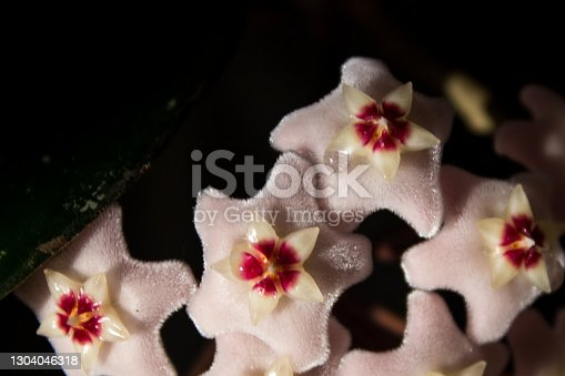 A cluster of the small pale pink flowers of the Hoya Carnosa, simply known as a Hoya Plant or wax Vine, against a black background, with droplets of Nectar forming on the flowers