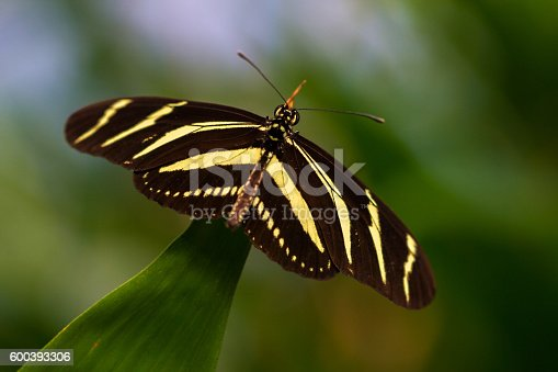 Tropical butterfly dido longwing on the leaf. Macro photography of Wildlife.
