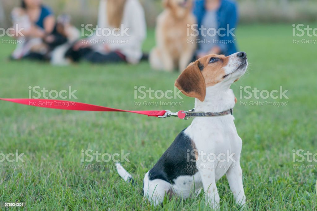 Starting His First Dog Obedience Class stock photo