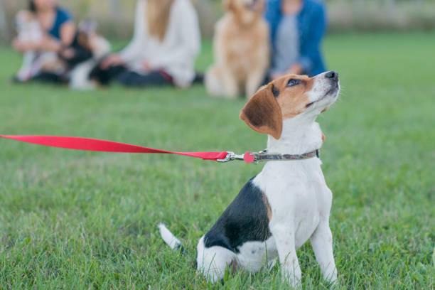 starting his first dog obedience class - training imagens e fotografias de stock