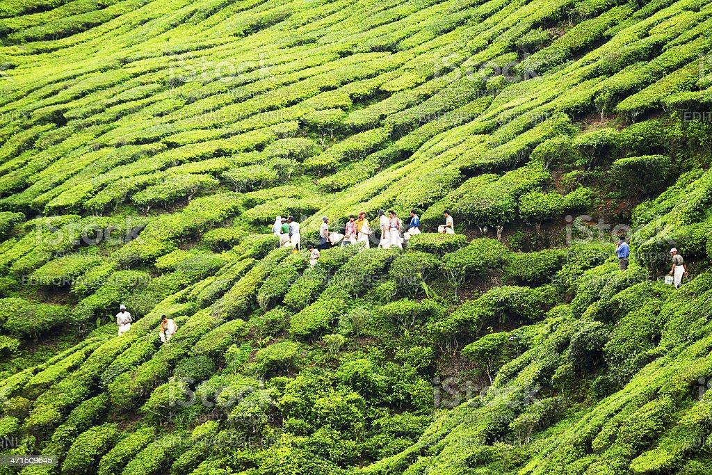 Starting tea picking stock photo