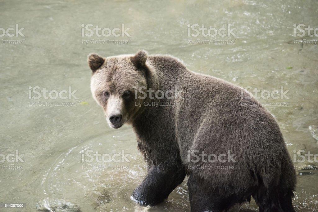 Startled bear stock photo