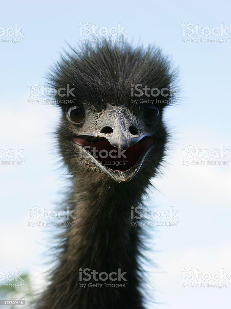 Startled Emu stock photo