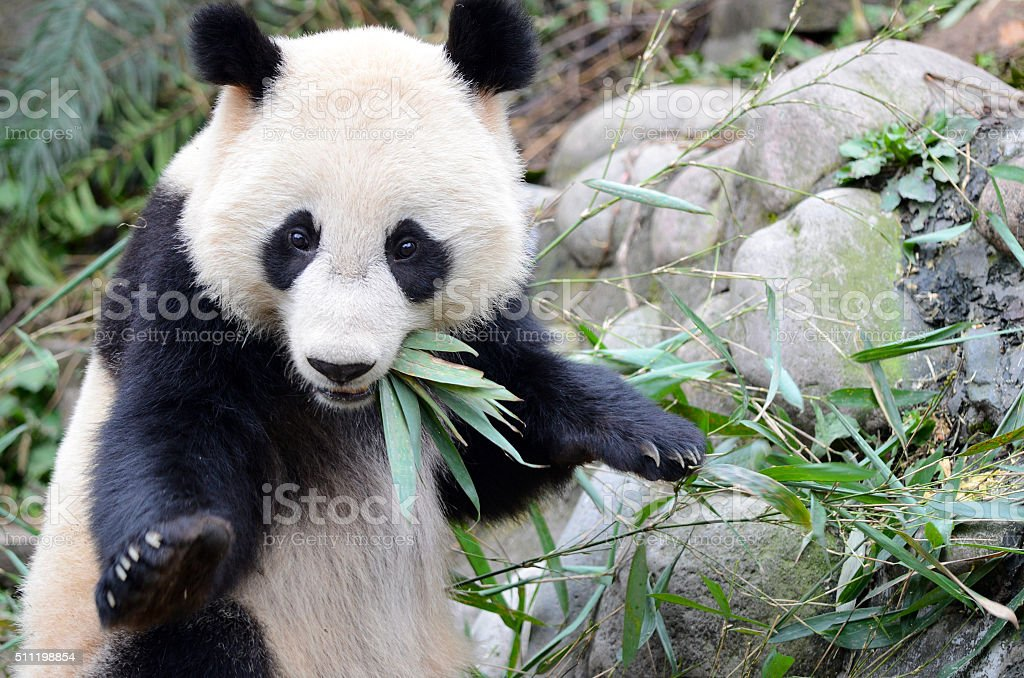 Startled Giant Panda Pose - Sichuan, China stock photo