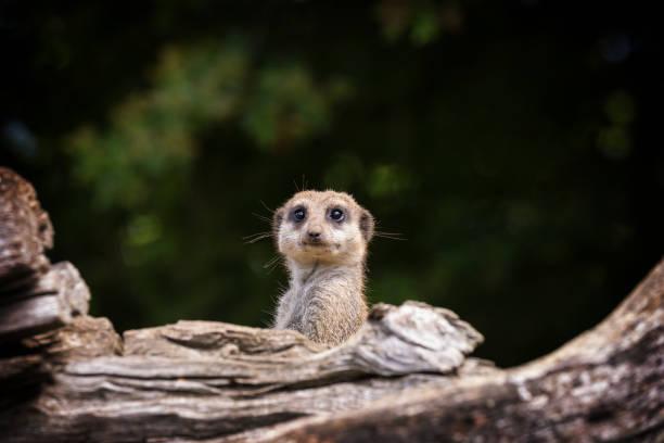 startled meerkat emerging from burrow - meerkat stock photos and pictures