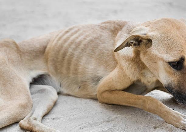 chó bị còi xương, suy dinh dưỡng