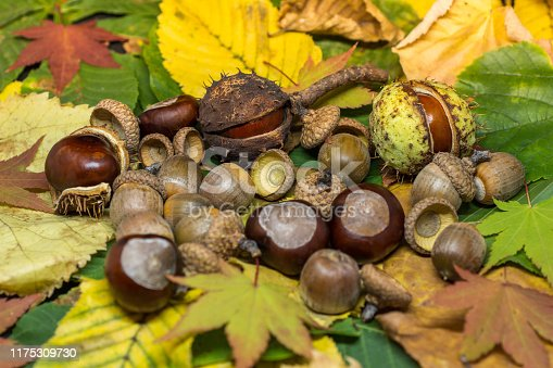 istock static nature of acorns and chestnuts on rusted and yellow leafs autumn concept image 1175309730