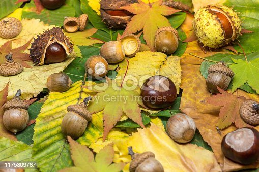 istock static nature of acorns and chestnuts on rusted and yellow leafs autumn concept image 1175309767