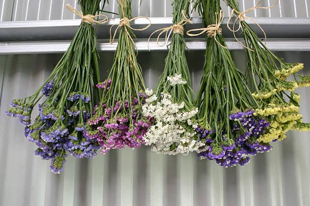 Statice Limonium sinuatum Flowers Hanging to Dry stock photo