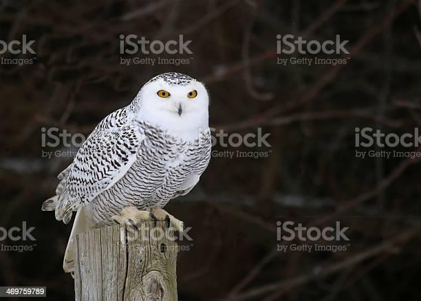 Stationary snowy owl picture id469759789?b=1&k=6&m=469759789&s=612x612&h=o6gosumohpwnum0w2pxw2irz8gkc mvs ok61fstivy=