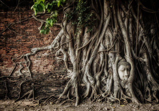 statue of Buddha head was wrapped by roots of Bodhi tree stock photo