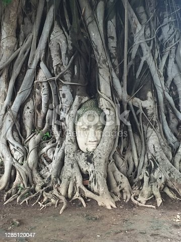 A statue overgrown by a fig tree of which only the face is still visible