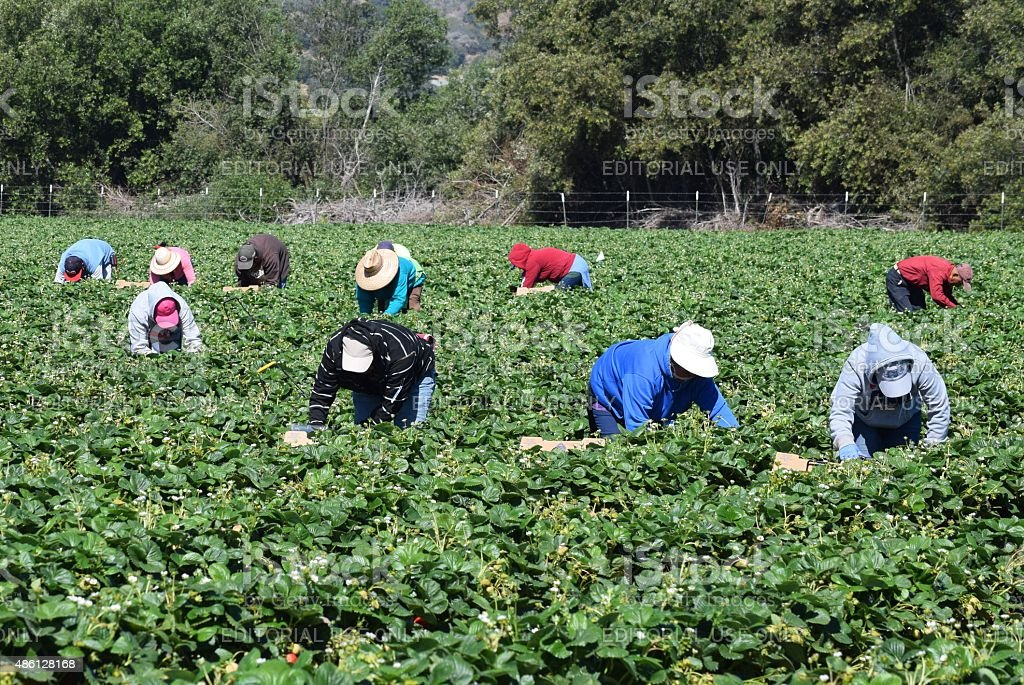 Stawberry Harvest in Central California stock photo