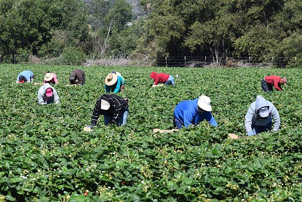 Stawberry Harvest in Central California Salinas, California, USA - June 19, 2015: Seasonal farm workers pick and package strawberries. migratory workers stock pictures, royalty-free photos & images