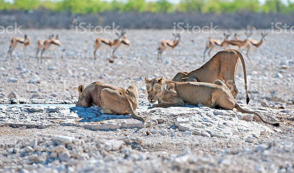 Stay clear, Etosha National Park, Namibia, Africa stock photo