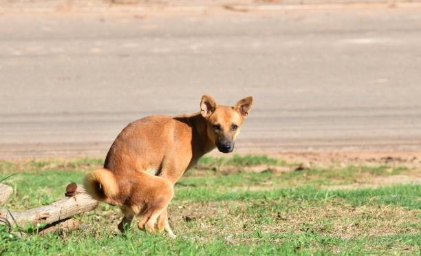 verblijf hond uitscheiden op groene gras naast landweg in ochtend - diarree stockfoto's en -beelden