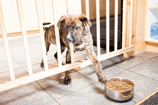 A puppy behind a gate trying to pull a bowl of food closer with her paw.  High Key