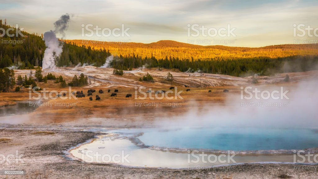 Steam rising from thermal hot springs and geysers. Bison grazing. At Yellowstone National Park, Wyoming, USA. stock photo