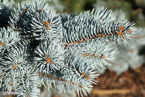 Zweig einer Stech-Fichte oder auch Blau-Fichte genannt