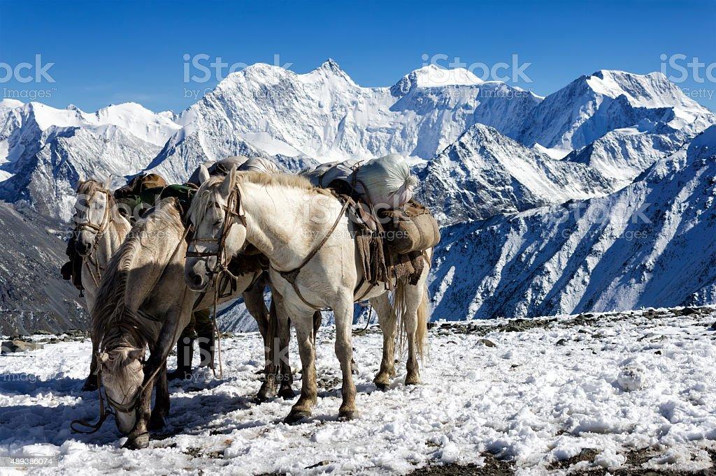 Steeds auf dem pass Karaturek, Altai, RUSSLAND – Foto