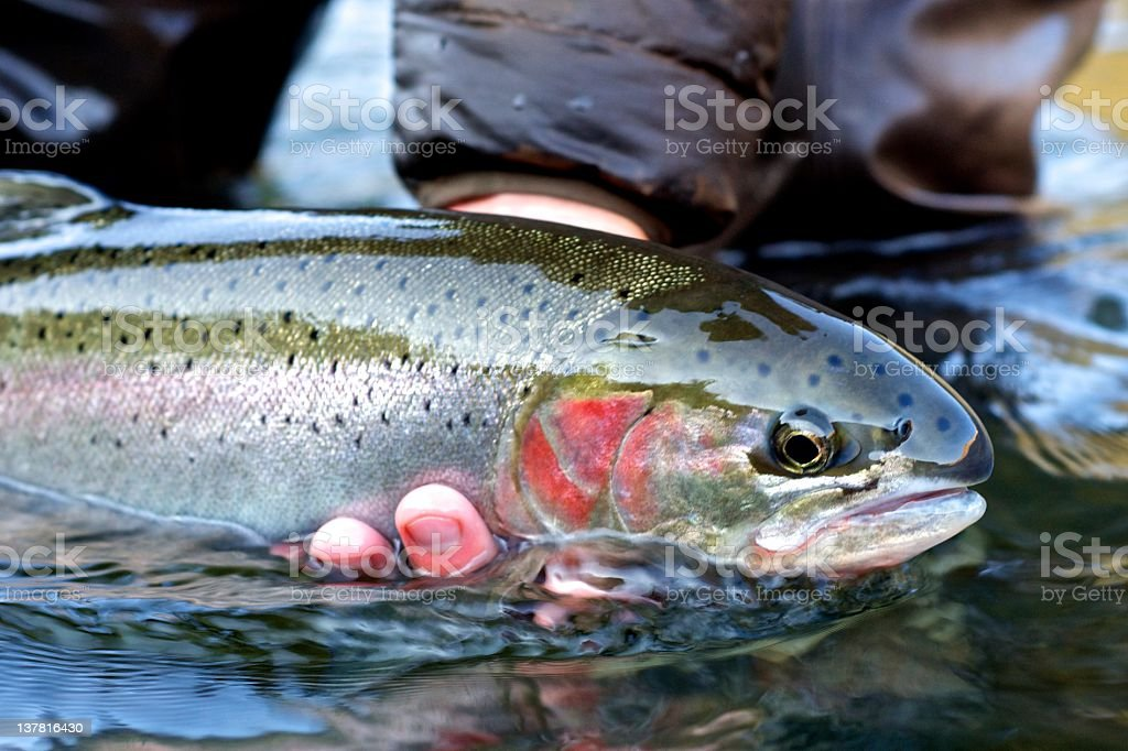 Steelhead trout stock photo