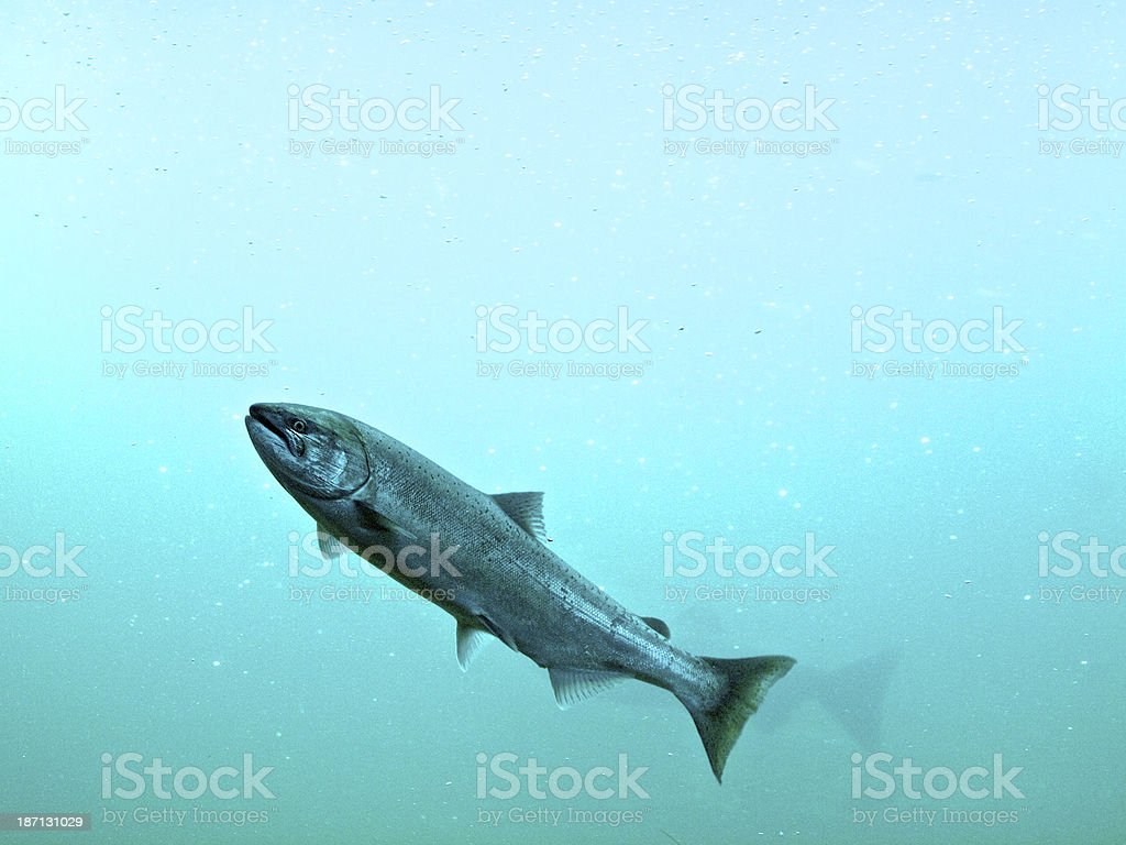 Steelhead Trout Swimming in Blue Light Water stock photo