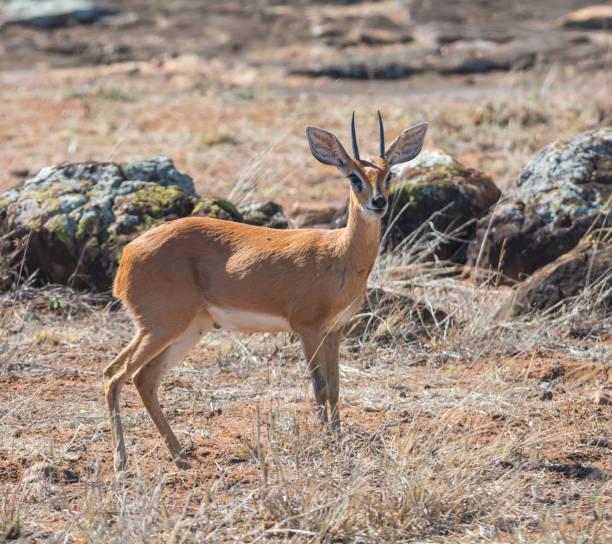steinböckchen gazelle - steinbock mann stock-fotos und bilder