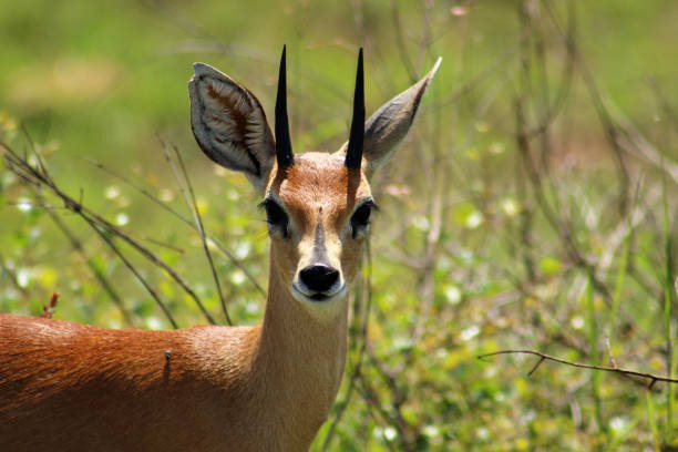 Steenbok, Raphicerus campestris; a small male African antelope found in Kruger National Park, South Africa stock photo