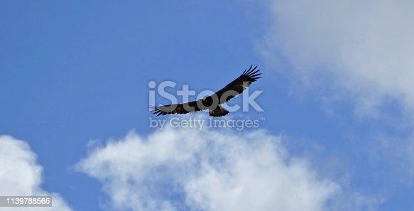 Southeast Oregon's High Desert. Malheur National Wildlife Refuge. Northern Great Basin.  Adult Golden Eagle Soaring With Majesty.