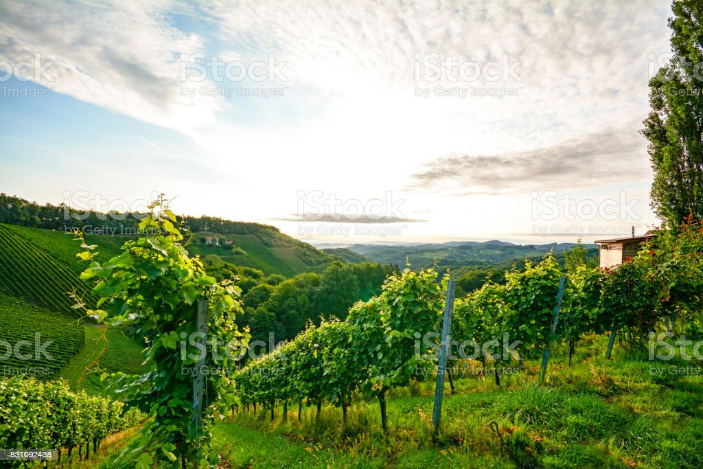 Steep vineyard with white wine grapes near a winery in the tuscany wine growing area, Italy Europe stock photo