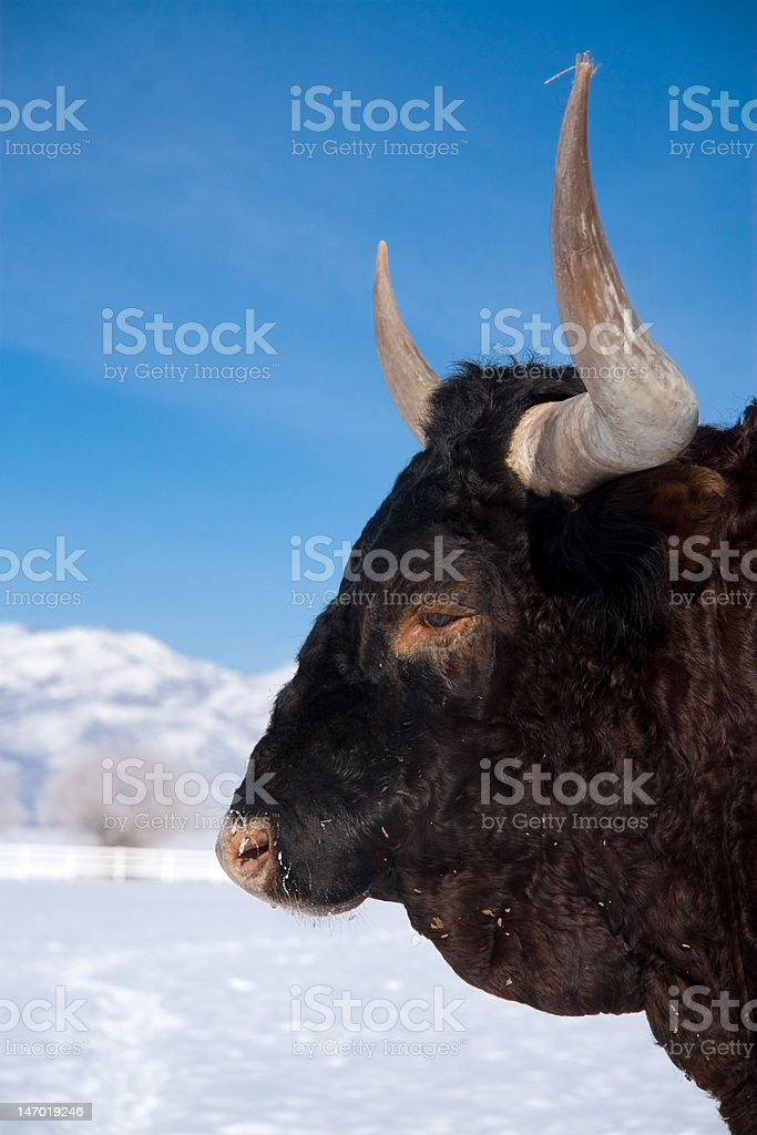 steer on snow royalty-free stock photo