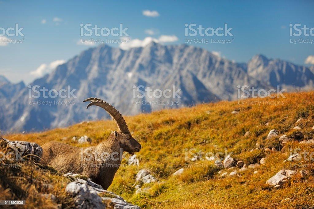 Steinbock - Alpine Ibex in front of Mount Watzmann , Alps stock photo