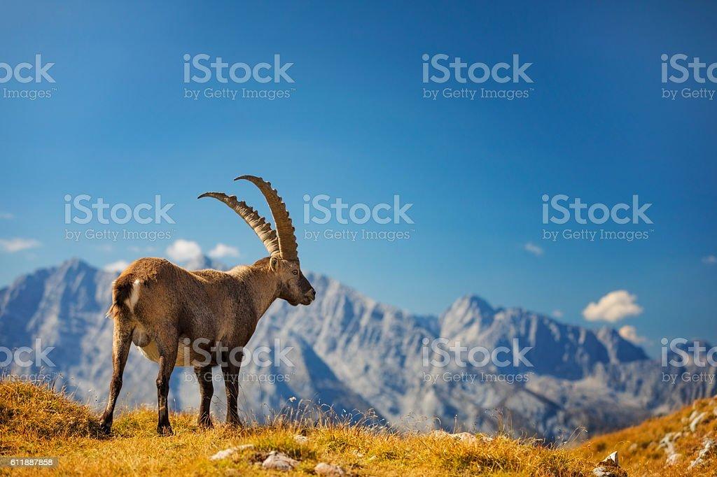Steinbock - Alpine Ibex is looking ot Mount Watzmann , Alps stock photo