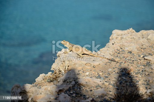 Stellagama stellio on a stone shore in the sunshine on a summer day
