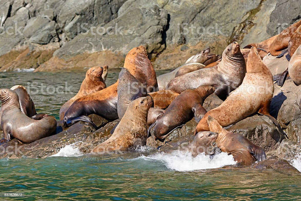 Stellar Sea Lions Crowding on a Rock stock photo
