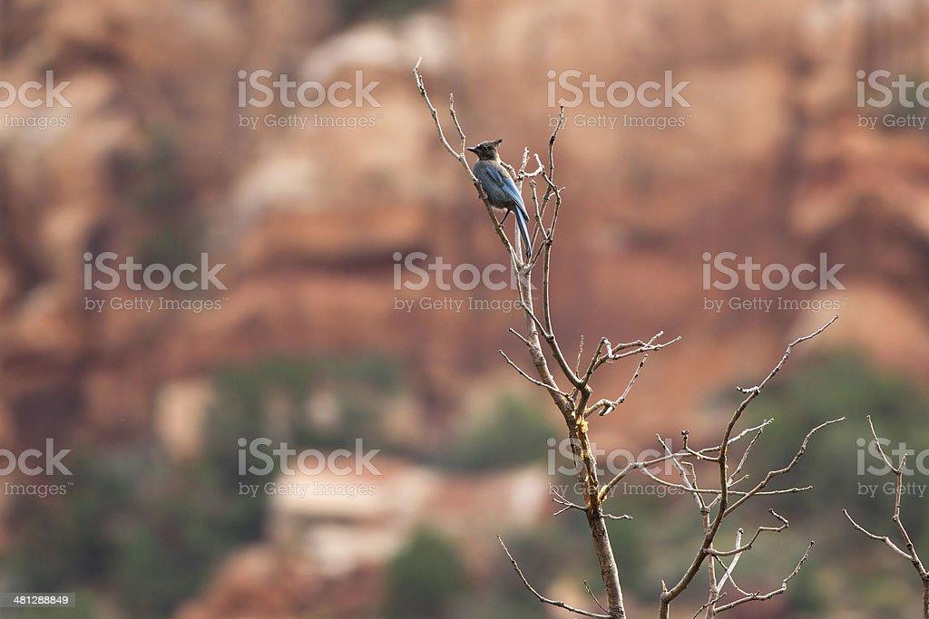 Stellar's Jay in Canyon royalty-free stock photo