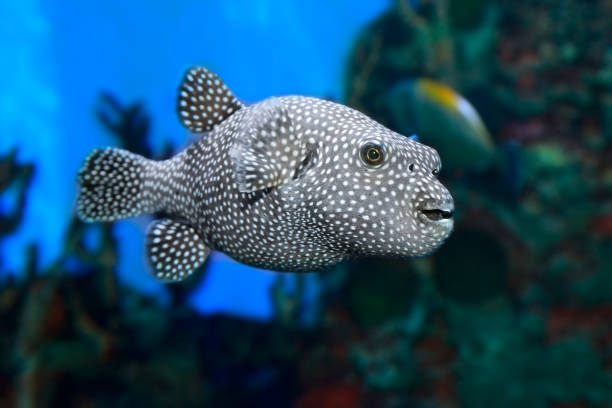 Stellate puffer Arothron meleagris in the sea water stock photo
