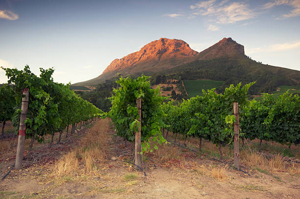 Stellenbosch, Sunset over a vineyard stock photo