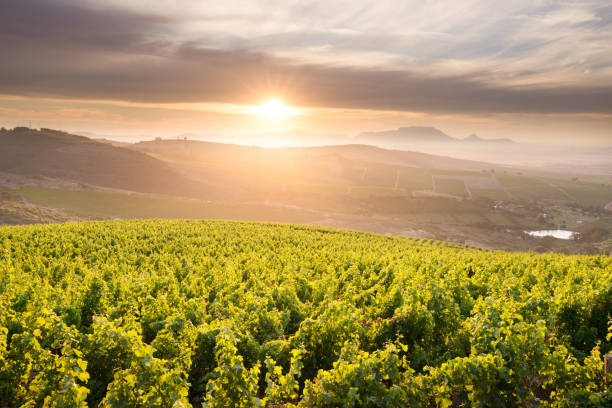 Stellenbosch vineyards at sunset on a hill with a view over Table Mountain, Cape Town, South Africa stock photo