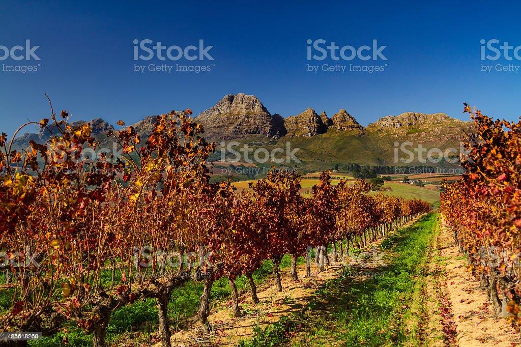 Stellenbosch Vineyards in Autumn stock photo