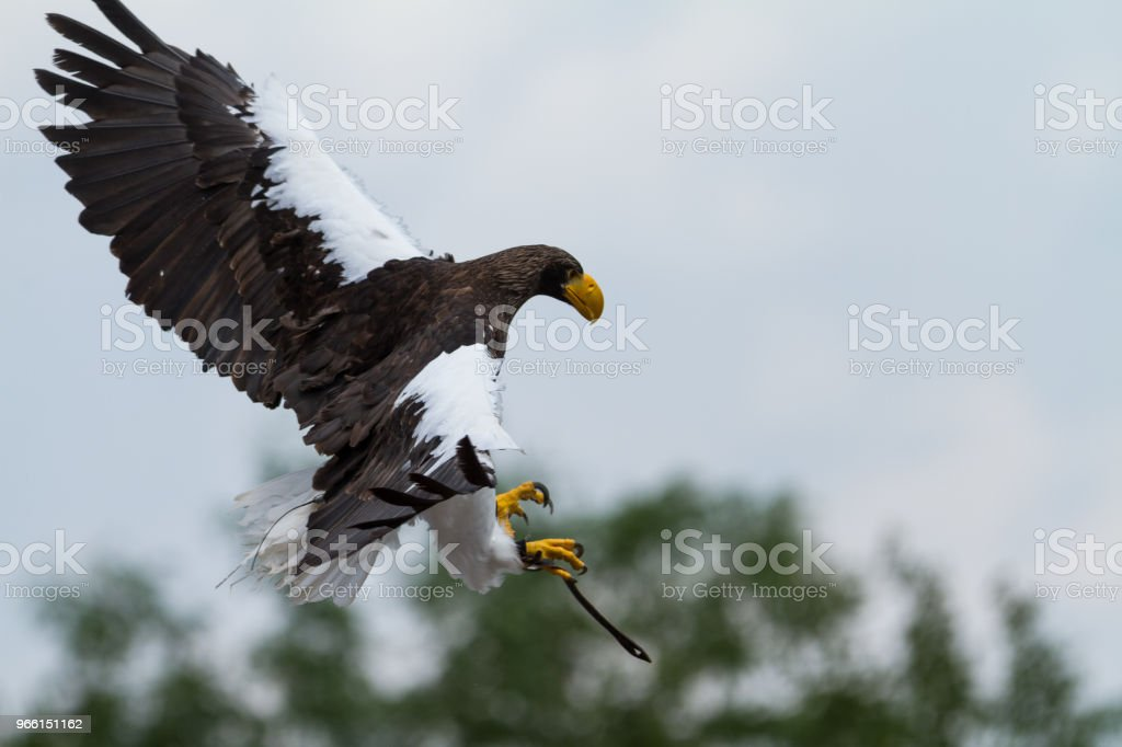 Pygargue de steller -  steller sea eagle - Royalty-free Animal Foto de stock