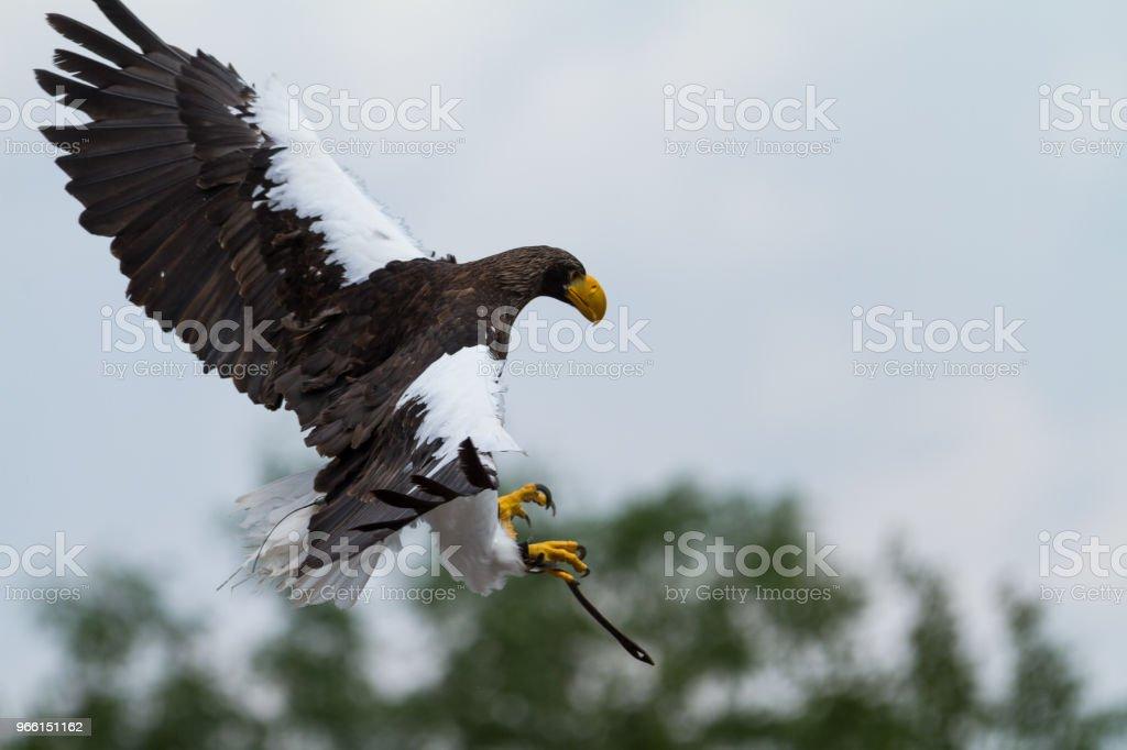 Орел Стеллера - морской орел-стеллер - Стоковые фото Азия роялти-фри