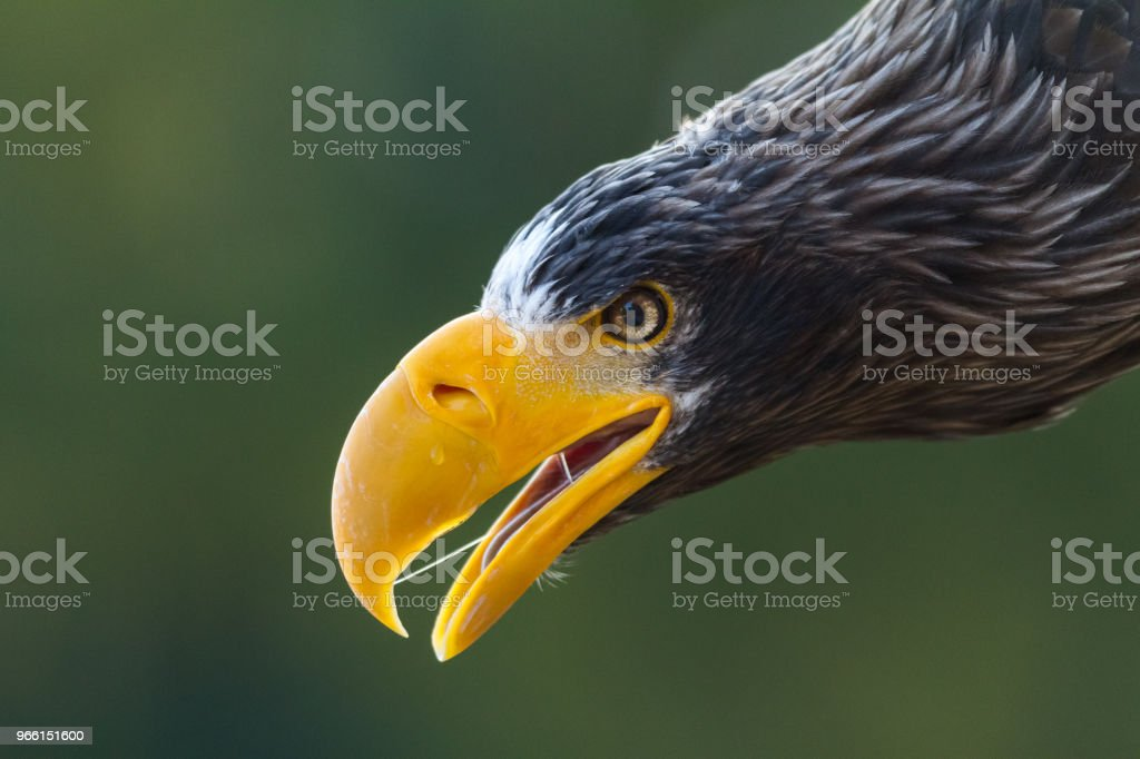 Aquila steller - aquila di mare steller - Foto stock royalty-free di Ambientazione esterna