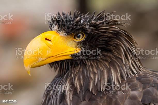 Pygargue De Steller Stellers Sea Eagle-foton och fler bilder på Arktis