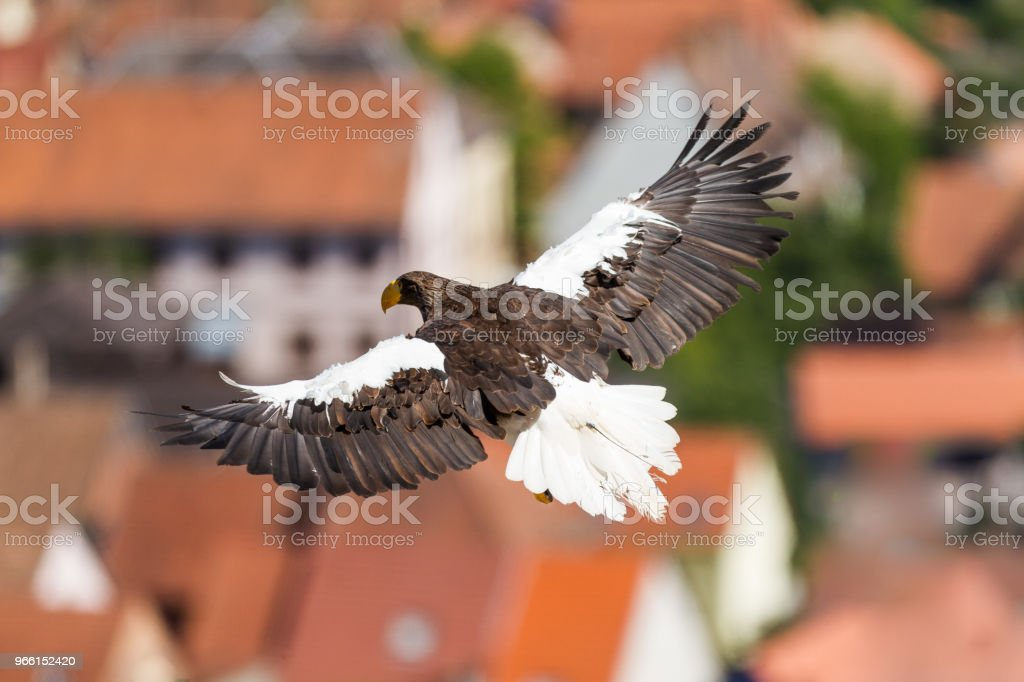 Pygargue de steller -  steller sea eagle - Royalty-free Animal Stock Photo