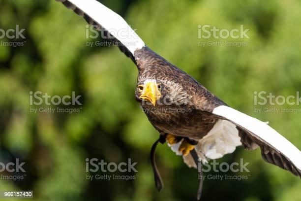Aquila Steller Aquila Di Mare Steller - Fotografie stock e altre immagini di Ambientazione esterna