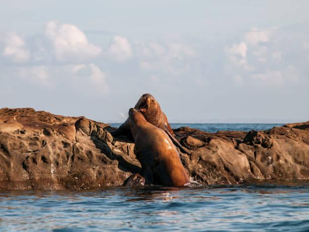 Steller Sea Lion Aggression stock photo