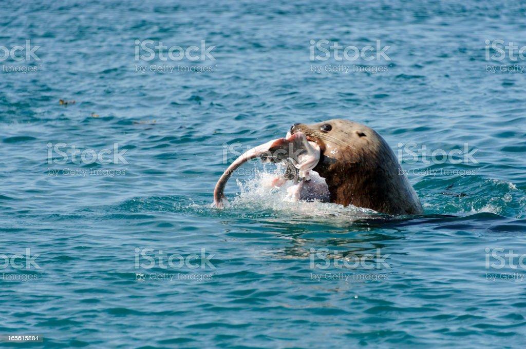 Steller Sea Lion fishing royalty-free stock photo