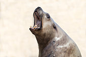 Male Steller sea lion with his mouth open, roaring on a light background