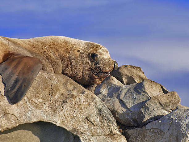 steller sea lion - naturediver stock pictures, royalty-free photos & images